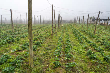 Field of strawberries in the spring. Strawberry growing outdoors. Large strawberry plantation in the countryside. Growing berries in the highlands.