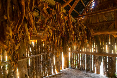 Classical way of drying tobacco leaves, hanging in a dark humid shed in a farm in Vinales Valley, Pinar del Rio, Cuba Zdjęcie Seryjne