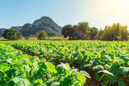 Tobacco sprouts grow in a row on a plantation in the Vinales valley, Cuba. Beautiful rural landscape. Cuban agriculture. The production process of cigars