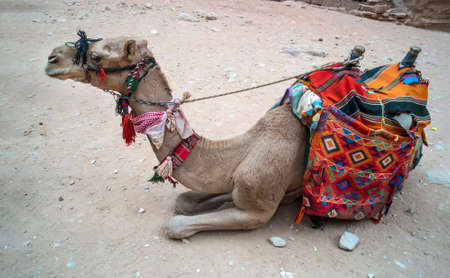 Camel with a colorful saddle resting. Camel for transporting tourists. Traditional Bedouin transport