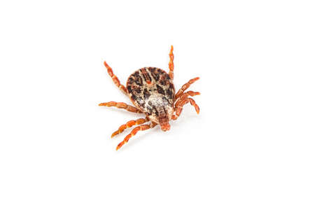 Tick over white background. Tick is the common name for the small arachnids in superfamily Ixodoidea that, along with other mites, constitute the Acarina. Dermacentor reticulatus 스톡 콘텐츠