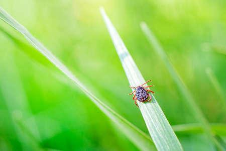 Encephalitis Infected Tick Insect on Green Grass in the sunshine of summer. Lyme Borreliosis Disease or Encephalitis Virus Infectious Dermacentor Tick Arachnid Parasite Macro 스톡 콘텐츠