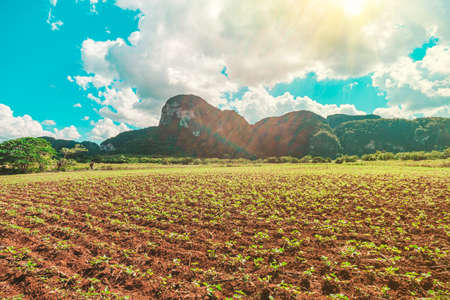 green large area with tobacco plantation and some little houses in Valle del Silencio, in Vinales, Cuba, on a sunny beautiful day.