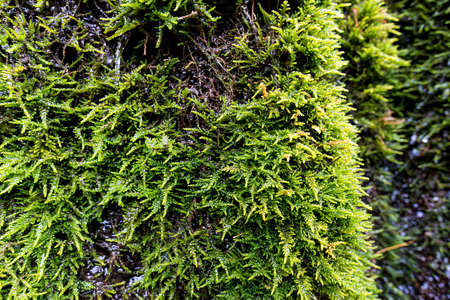 Moss texture, background with copy space. Green vegetation on wet stone 免版税图像