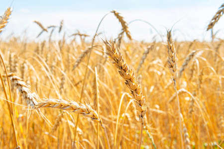 Wheat ears close-up against the blue sky on field. Agricultural industry. Rich harvest Concept.