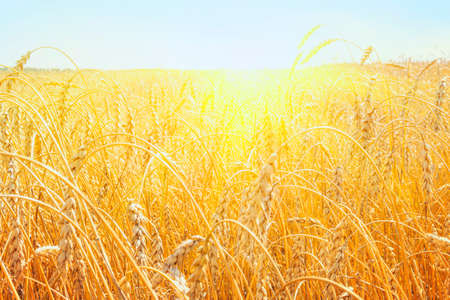 Growing wheat in field. The rural nature. Agricultural industry. golden wheat field in summer. sunrise on the wheat field with rye. summer wheat agriculture background. landscape Stock Photo