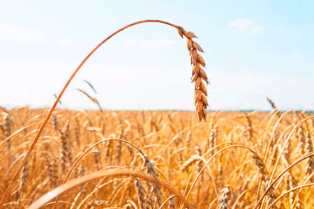 Growing wheat in the field. The rural nature. Agricultural industry. Gold wheat field and blue sky Stock Photo