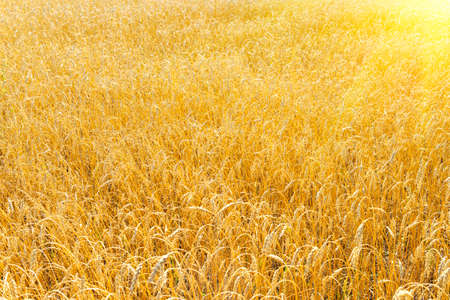 golden wheat field in summer. sunrise on the wheat field with rye . summer wheat agriculture background. landscape agro business Stock Photo