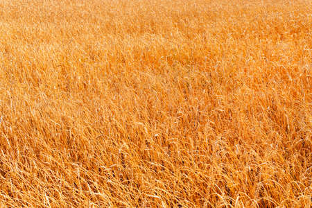 Wheat field as grain background or texture. Harvest and bread.