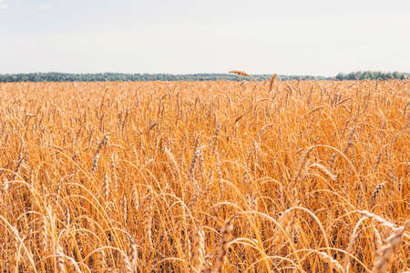 Cultivation of cereals. Beautiful rural landscape with yellow plants and blue sky. Wheat in field. Agriculture in the Altai region in Russia. Rich harvest Concept.