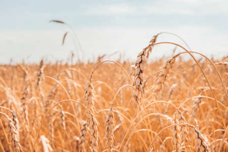 Ripe ears of wheat. Wheat field. Blue sky with clouds. Summer harvest of ripe wheat. Golden ears. Agriculture. wheat is ripe. golden wheat field and sunny day