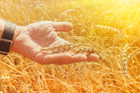 Wheat ears in mans hands. Harvest, harvesting concept, Young farmer in field touching his wheat ears. Crop protection. Cultivated agricultural wheat field. Sun light, backlit