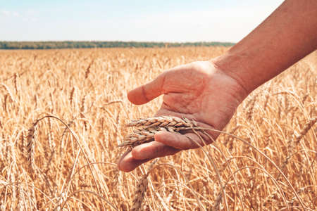 Cultivation of cereals. Beautiful rural landscape with yellow plants and blue sky. Wheat in field. male farmer checks the ripeness of wheat ears. Stock Photo