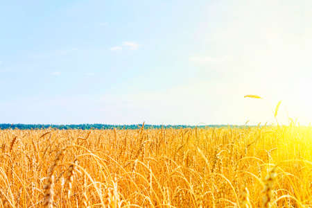 Golden wheat field with blue sky. golden wheat field in summer. sunrise on wheat field with rye. summer wheat agriculture background. landscape