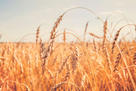 Wheat ears close-up against the blue sky on field. Agricultural industry. agro business Stock Photo