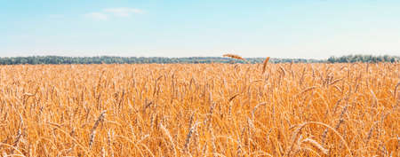 Cultivation of cereals. Beautiful rural landscape with yellow plants and blue sky. Wheat in field. Agriculture in the Altai region in Russia. Rich harvest Concept. panoramic picture. Stock Photo