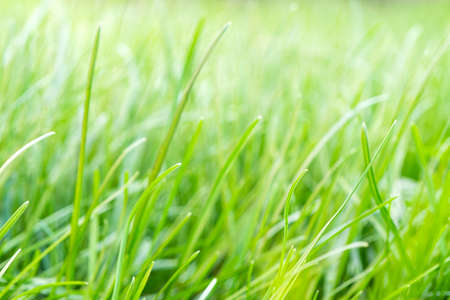 Green grass in the yellow sun. Background of pure natural tall grass of summer and spring