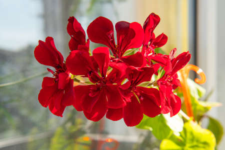 Beautiful red geraniums indoor house plant on the window background