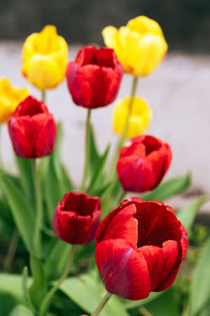 Colorful yellow and red tulips grow with green leaves on the plot. Close-up