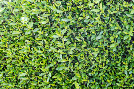 background of green leaves on bush. Texture of green plants