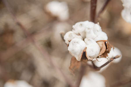 seed plant: Cotton Plant Close-up