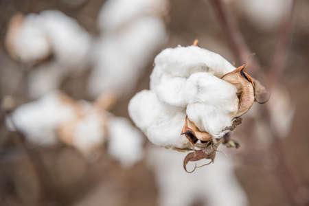 planta de algodon: Cotton Plant Close-up