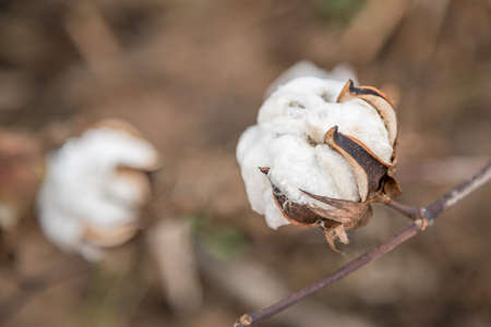 cotton plant: Cotton Plant Close-up
