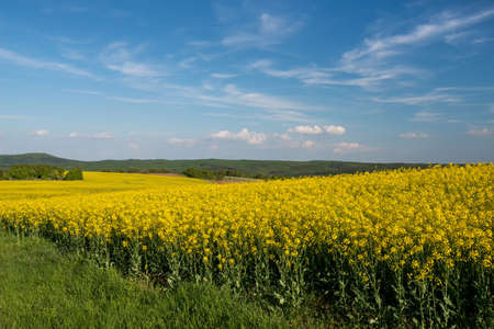 colza: flowering field of colza outdoors in spring