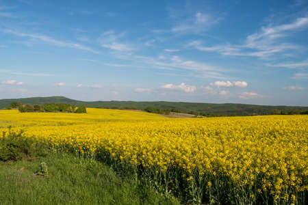 flowering field: flowering field of colza outdoors in spring