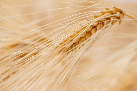 barley: Grano de cebada se utiliza para la harina, el pan de cebada, cerveza de cebada, algunos whiskies, vodkas algunos, y forraje para los animales.