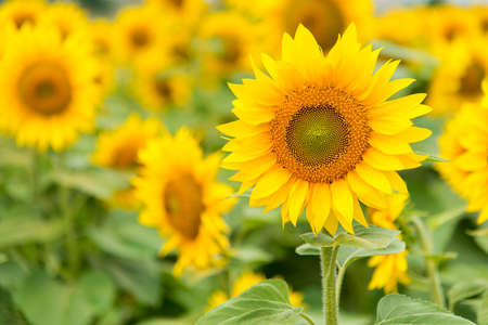 energize: Agriculture stock image - Sunflower field Stock Photo