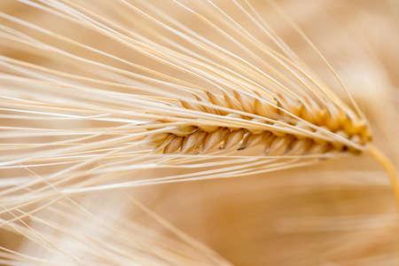 cebada: Grano de cebada se utiliza para la harina, el pan de cebada, cerveza de cebada, algunos whiskies, vodkas algunos, y forraje para los animales.