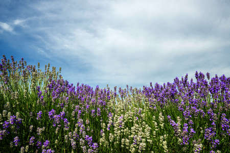 lavande: Meadow of lavender. Nature composition. Copy space.