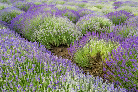 french perfume: Meadow of lavender. Nature composition