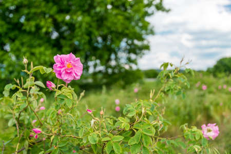 Damask rose fn the field