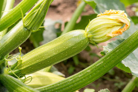 field crop: Close up of fresh zucchini with flowers Stock Photo