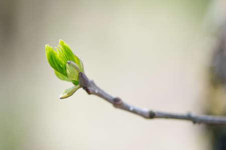 feuille arbre: bourgeonnement branches au printemps - copie espace