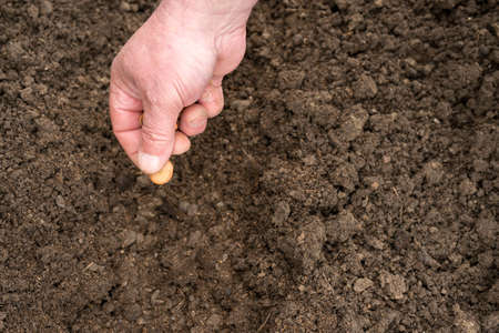 furrow: Closeup of a males hand planting broad bean seeds into a furrow in soil