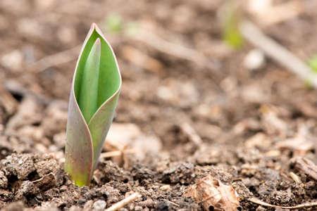 tulipan: kiełkować tulipan w przyrodzie, makro - selektywne focus, kopia przestrzeń Zdjęcie Seryjne