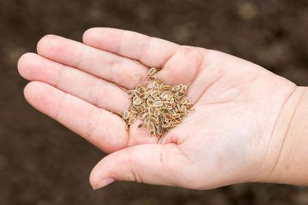 Wortelzaden in menselijke handen tegen de bodemachtergrond - selectieve focus