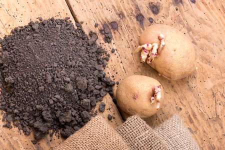 sprouted: Sprouted potatoes on an old wooden rustic table