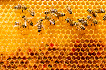 closeup of bees on honeycomb in apiary - selective focus, copy space Stock Photo