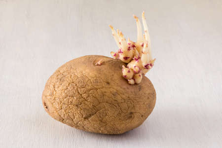 sprouted: Sprouted potatoes on an white wooden rustic table
