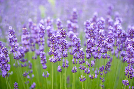 lavande: Meadow of lavender. Nature composition
