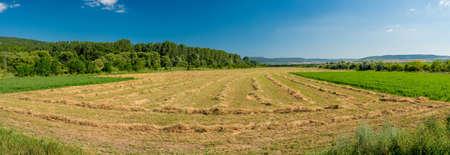 hay field: Rows of cut alfalfa cure in a hay field. Panorama
