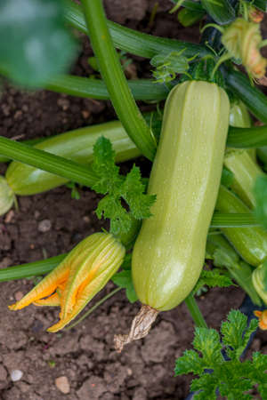 Flowering and ripe fruits of zucchini in vegetable garden - selective focus, copy space