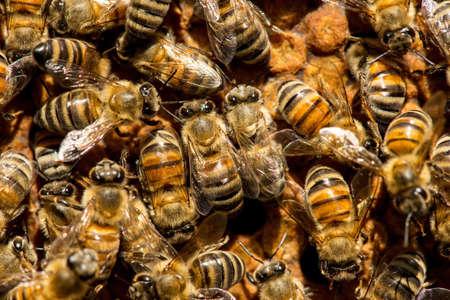 abeja reina: The queen bee swarm - selective focus