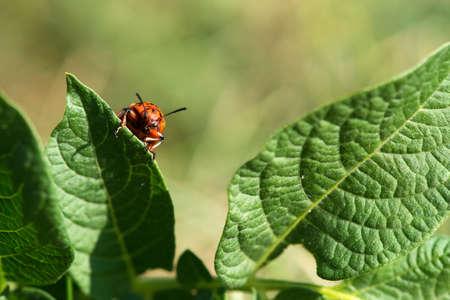 The Colorado potato beetles (Leptinotarsa decemlineata) also known as the Colorado beetle destroy potato plants and cause huge damage to farms