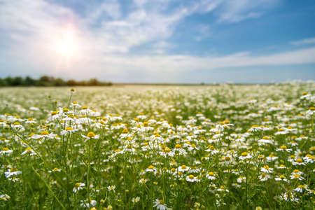 Manzanilla floreciente en el campo - enfoque selectivo, espacio de copia Foto de archivo