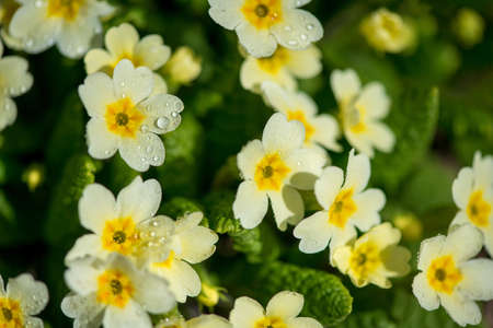 Close up of yllow primroses  blossoming in early spring garden - selective focus
